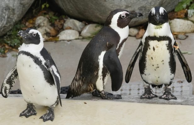 Пингвины-геи